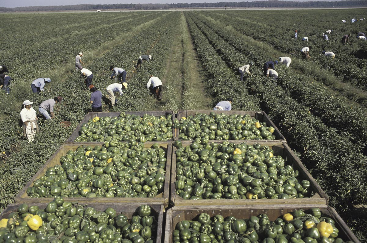 As Trump cracks down on illegal immigration, Calif. farmers suffering more from state-inflicted pain